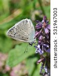Small photo of Polyommatus daphnis, the Meleager's blue, is a butterfly of the Lycaenidae family.