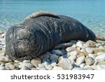 Sea Calf Sleep On The Beach Of...