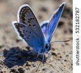Karner Blue Butterfly  ...