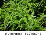 Small photo of Adiantum Hispidulum, Rough Maidenhair fern or five fingered jack growing in the Wuyishan or mount wuyi scenic area in Fujian province China.