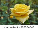 Small photo of Midas touch yellow rose blooming in garden