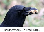 close up of a black crow ...   Shutterstock . vector #532514383