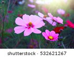 Pink Flowers Cosmos Bloom...