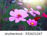 pink flowers cosmos bloom...   Shutterstock . vector #532621267