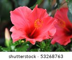 Pink Hibiscus Growing In A...