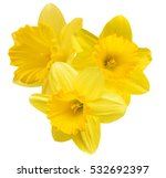 Yellow daffodil isolated on a...