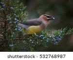 a cedar waxwing eating a blue... | Shutterstock . vector #532768987