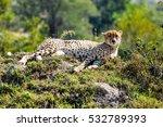 African Cheetah Lying