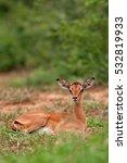 Small photo of impala, aepyceros melampus, South Africa