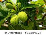 Breadfruit  Artocarpus Altilis...