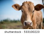 Stock photo calf face selective focus 533100223