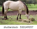 Small photo of Lateral view of a male buckskin American saddle horse eating grass outside in a field in Northern California, with ears pointed backwards