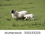 A Mother Sheep Feeding Her New...