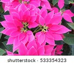 pink poinsettia  euphorbia...   Shutterstock . vector #533354323