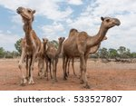 camels on a camel farm in... | Shutterstock . vector #533527807