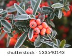 Frozen Pyracantha Berries In...