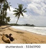 Beach with palms and relaxin sacred cows. - stock photo