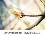 Bud On A Tree Horse Chestnut I...