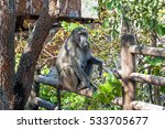 baboon in blyde river canyon... | Shutterstock . vector #533705677