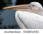portrait of rosa pelican.... | Shutterstock . vector #533851453