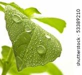 Fresh Green Leaf Of Basil With...