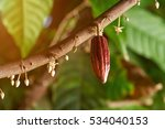 cacao branch with young fruit... | Shutterstock . vector #534040153