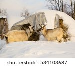 two goats on winter yard eating ... | Shutterstock . vector #534103687