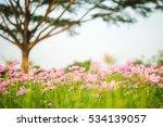 Cosmos Bipinnatus Flowers...