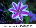 Climbing Clematis 'carnaby'