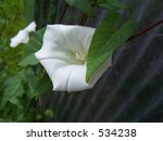 morning glory | Shutterstock . vector #534238