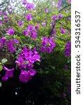 purple bougainvillea   tropical ... | Shutterstock . vector #534316537
