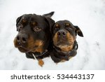 Two Black Rottweiler Sitting O...