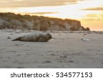 very cute seal on the beach on... | Shutterstock . vector #534577153
