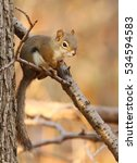 Small photo of American Red Squirrel in autumn