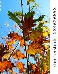 Small photo of Degrade of the autumn Oak leaves/ Beautiful Oak leaves/ Oak leaves