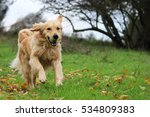 Golden Retriever Running In A...