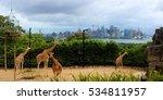 giraffes at taronga zoo  sydney. | Shutterstock . vector #534811957
