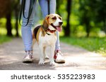 Young Woman Walking With Beagl...