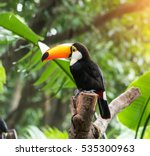 Great Hornbill In Rainforest