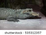 Small photo of Dwarf crocodile (Osteolaemus tetraspis), also known as the African dwarf crocodile.