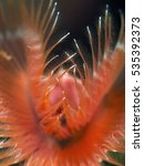 Small photo of Variable Tube Worm (Serpula vermicularis)