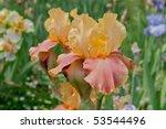 Multi Colored Bearded Iris In...