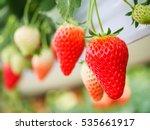 Strawberry Fruit In Nursery...