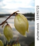 Small photo of Raindrops on white flower of Yucca / Adam's needle and lake in the background