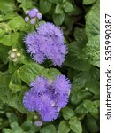 Small photo of Purple Ageratum flowers in the garden