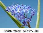 Small photo of two-leaf squill or alpine squill (Scilla bifolia) Odessa region, Ukraine