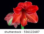 close up of colorful amaryllis... | Shutterstock . vector #536122687
