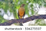 Rufous Bellied Thrush  Turdus...