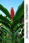 Hawaiian Red Torch Ginger Meet...