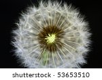 Close-up of dandelion - stock photo